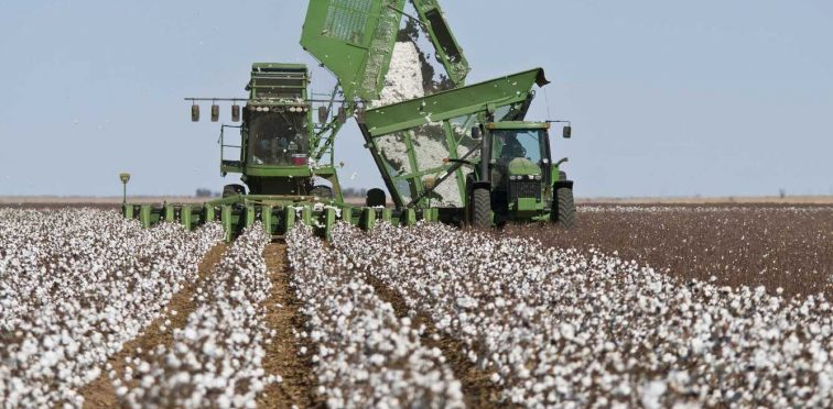 Colheita do algodão