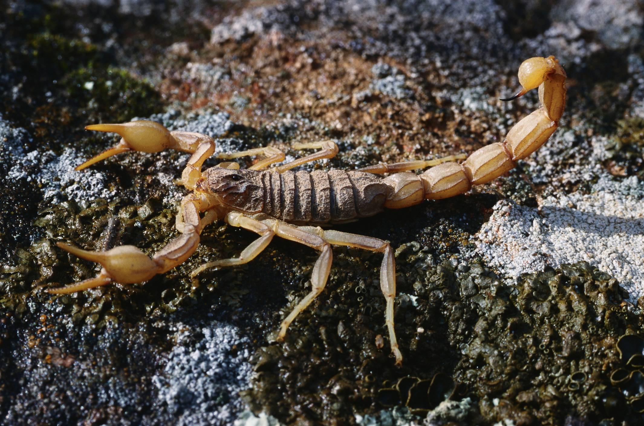 acidentes com escorpião